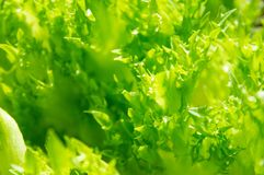 Close-up image of Green Oak Salad. Close-up pictures of green oak salad leaves with beautiful green background stock image