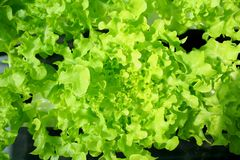 Green oak ,Salad vegetable ,Hydroponics Vegetables,plant with hydroponic system planting stock images