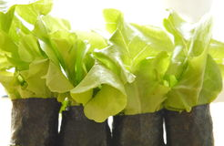 Green oak and sausage wrapped by seaweed Royalty Free Stock Images