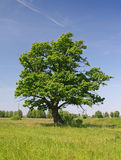 Green oak tree. On a grass field Royalty Free Stock Photos