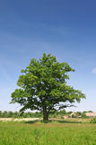Green oak tree. On a grass field Stock Photography