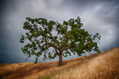Green Oak Tree California Royalty Free Stock Photography