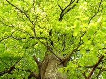 Green oak tree royalty free stock photography