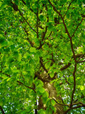Green oak tree Royalty Free Stock Images