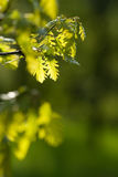 Green oak-tree foliage Stock Image