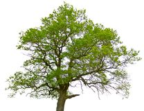 Green oak tree isolated. On white background Royalty Free Stock Image