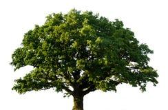 Green oak tree isolated