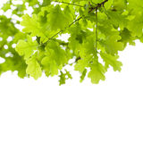 Green oak tree leaves over white background Royalty Free Stock Image