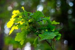 Green oak tree leaves. In summer and bokeh stock images