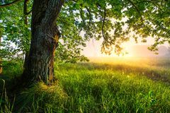 Green oak tree in the morning. Amazing summer landscape. Royalty Free Stock Image