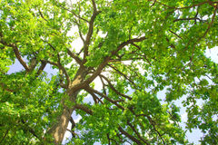 Green oak tree in the morning sun Royalty Free Stock Photos