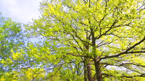 Green oak tree stock video