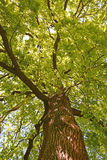 Green oak tree Royalty Free Stock Image