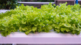 Green Oak Vegetable hydroponics Stock Photo