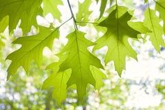 Green oak. Green young oak tree leaves Stock Photo