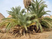 Green oasis on Sinai. Royalty Free Stock Image