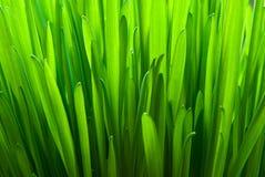 Green oat Stock Image
