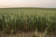 Green oat ears of wheat grow from the ground on the beautiful field with evening sunset sky. Agriculture. Nature product. Green oat ears of wheat grow from the royalty free stock photos
