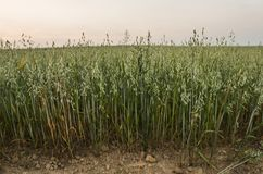 Green oat ears of wheat grow from the ground on the beautiful field with evening sunset sky. Agriculture. Nature product. Green oat ears of wheat grow from the stock photos
