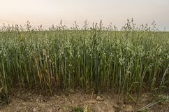 Green oat ears of wheat grow from the ground on the beautiful field with evening sunset sky. Agriculture. Nature product. Green oat ears of wheat grow from the royalty free stock images