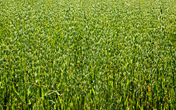 The green oat field Royalty Free Stock Images