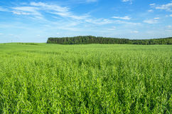 Green Oat Field Royalty Free Stock Photos