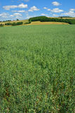 Green Oat Field Royalty Free Stock Images