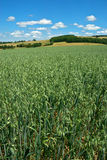 Green Oat Field Stock Photography