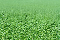 Green oat field in the summer Stock Photos