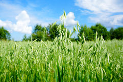 Green oat field on summer day Stock Images