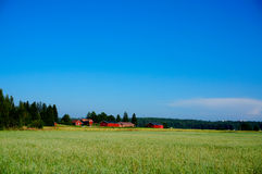 Green oat field on summer day Stock Image