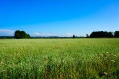 Green oat field on summer day Stock Photo