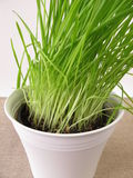 Green oat grass in flower pot Royalty Free Stock Images