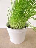 Green oat grass in flower pot Stock Image