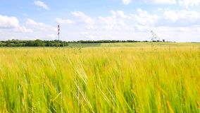 Green oat grass growing in the barley field in summertime. Field of ripening corn plants. At middle of June stock footage