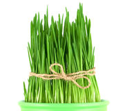 Green oat grass in a pot Stock Images