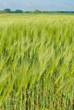 Green oat Stock Images