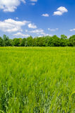 Green oat Royalty Free Stock Images