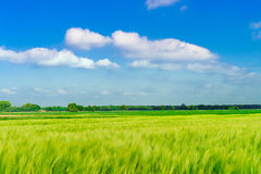 Green oat Stock Photography