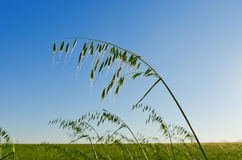 Green oats Royalty Free Stock Photography