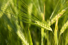 Green oats Royalty Free Stock Photo