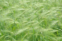 Green oats field Royalty Free Stock Photography
