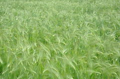 Green oats field Stock Photo