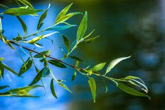 The nature of Ufa, Bashkortostan, Russia. Green oblong leaves of a willow tree on a branch against a blue sky on a summer sunny day stock photography