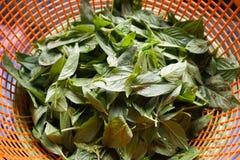 Green ocimum basilicum leaves on plastic basket Stock Photo