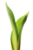 Green offshoot Royalty Free Stock Image