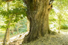 Green, old and ancient chestnut forest in the province of Zamora Royalty Free Stock Images
