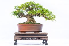 Green old bonsai tree isolated on white background in a pot plant in the shape Royalty Free Stock Images