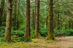 Green old forest with camp site and wooden picnic table in the mountain of British Columba Canada. royalty free stock image
