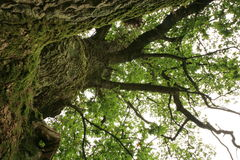 Green , old oak. Royalty Free Stock Photo